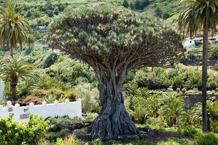 Drago Tenerife